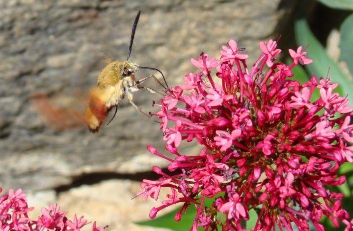 sphinx colibri sur les fleurs des chambres d'hôtes en Auvergne