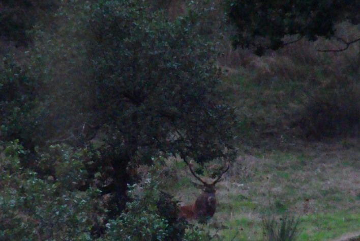 observation du cerf au repos lors du brame du cerf en Auvergne