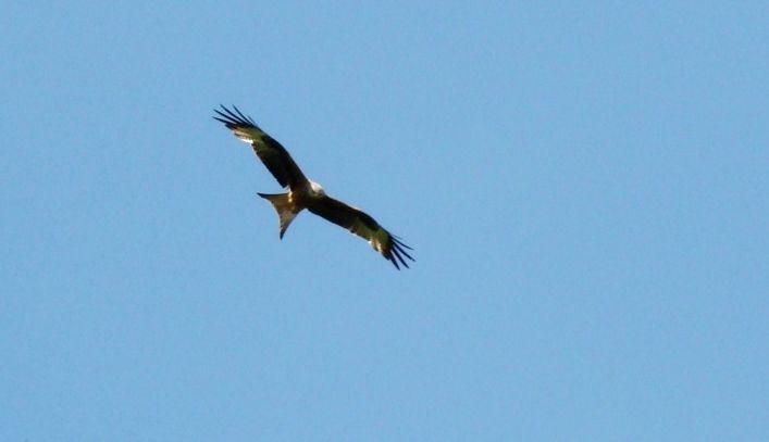 Milan royal en vol dans le ciel d'Auvergne