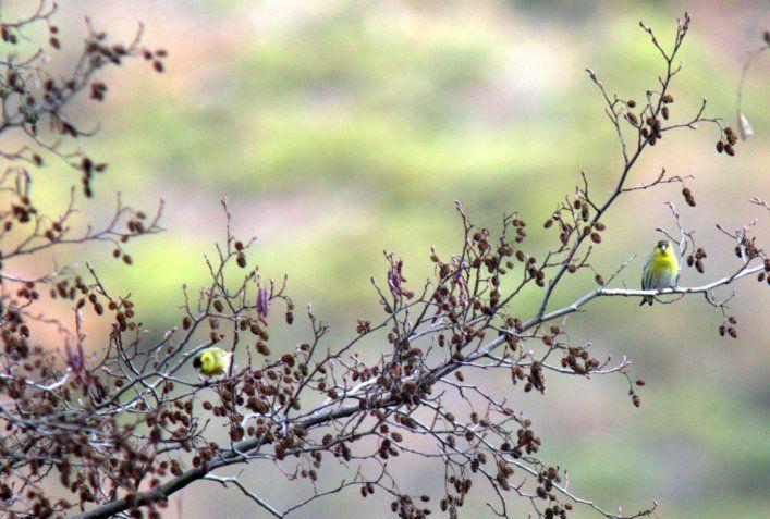Tarins des aulnes en colonie en Auvergne