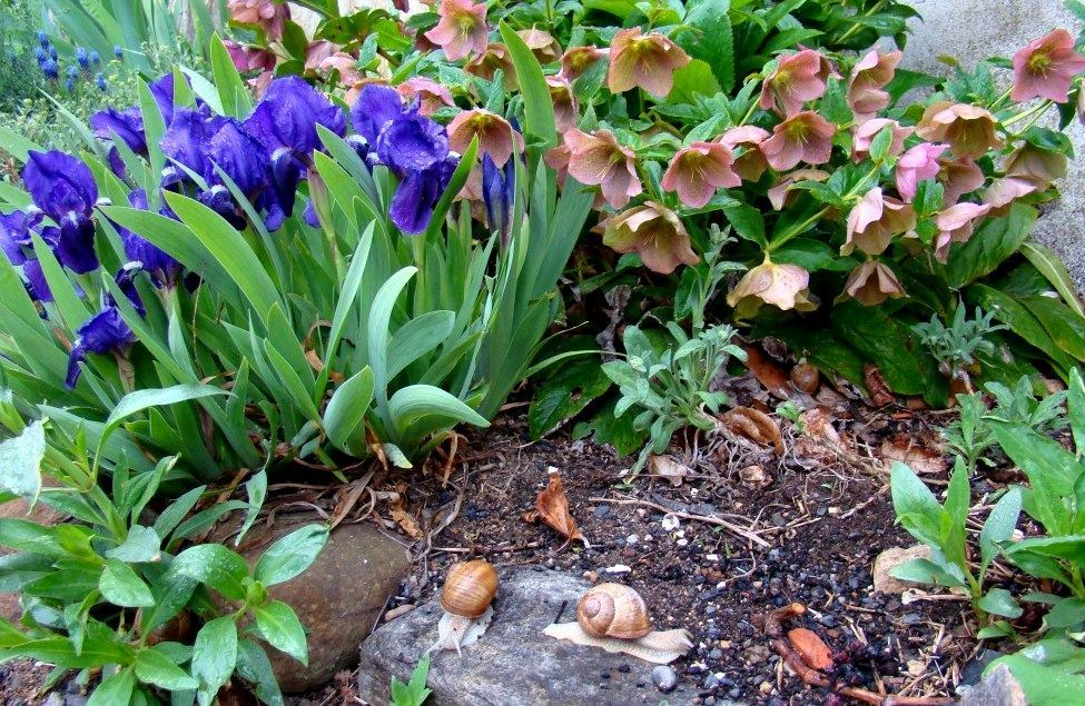 Escargots au milieu des Iris et Hellébores en Auvergne