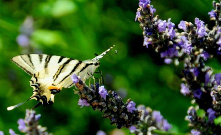 papillon flambé sur nos lavandes sous le soleil d'auvergne
