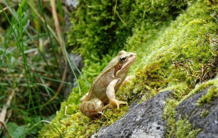 grenouille lac du pêcher dans le Cantal en Auvergne