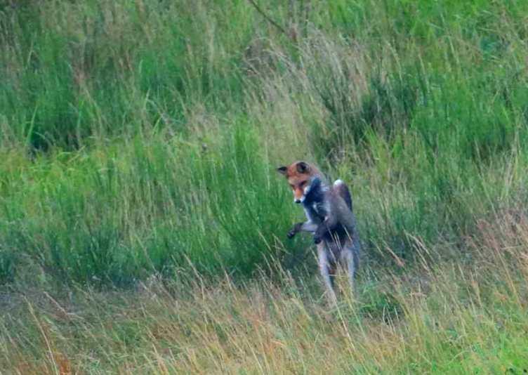 Le renard roux en Auvergne en plein mulotage