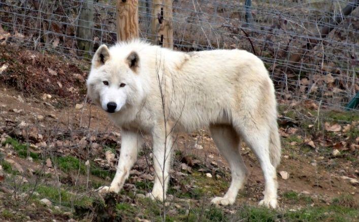 loup blanc du Parc Animalier d'Auvergne à Ardes sur Couze