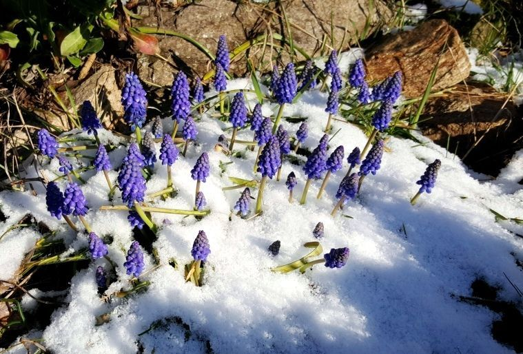 Fleurs de Muscaris sous la neige d'Auvergne