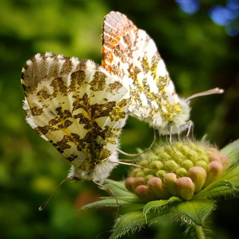papillon au printemps en Auvergne