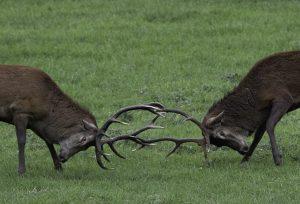 Un combat de cerfs à blesle